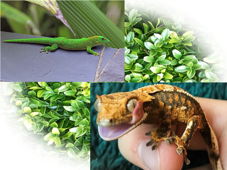 Giant Day Gecko vs Crested Gecko
